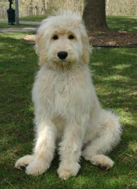 My dog, Astro, an english goldendoodle like this one, especially at play in the snow. He's a pretty boy smartie!