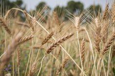 Ökologische Landwirtschaft schont die Umwelt und erzeugt hochwertige Lebensmittel. Doch werden wir davon satt? Eine aktuelle Studie zeigt: ja. Öko kann mehr als bislang gedacht.