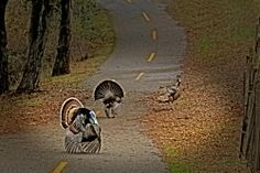 Wild turkey | Photographer_love
