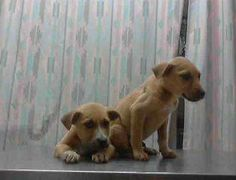 !!!!!!  BABY ALERT !!!!!! FINAL DAY Sat 3/22/14 Harris County Shelter  Houston TX male pit mixes (2 pups) - RO
