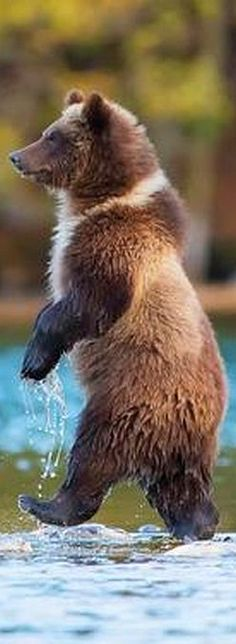 GRIZZLY WALK ALONE ...... #bear grizzly predator is canada river water fish nature