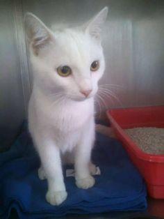 Gato macho sin chip encontrado 24 septiembre calle Londres Torrejon de Ardoz -MADRID CONTACTO: cpa.torrejon@hoope.org pic.twitter.com/PLERNi4O8j