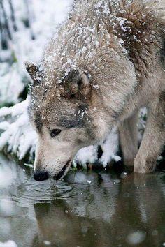 Durstiger Wolf