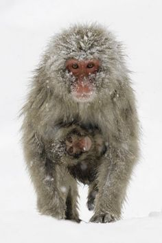 Japanese Snow Monkeys    2590_59374671469_7123053_n.jpg (402×604)