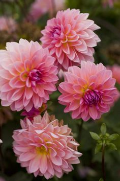 Dahlias are popular flowers in many a temperate garden, and exist in many cultivars. Learn how to grow dahlia plants so you can obtain the best blooms. Rare Flowers, Pink Flowers, Beautiful Flowers, Giving Flowers, Fresh Flowers, Flower Farm, Flower Pots, Types Of Orchids, Different Flowers Types