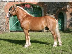 Estonian Draught - stallion Koit