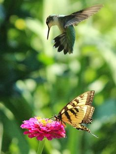 Hummingbird vs butterfly for flower juice