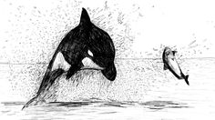 Killer Whale Drawings | Killer Whale Dive by DrawnRon