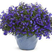 I have Lobelia in a pot on my glass-top wrought iron table on the front patio.