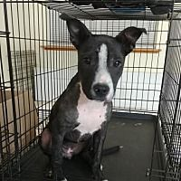 Helena, AL - American Pit Bull Terrier. Meet Rexie a Dog for Adoption.