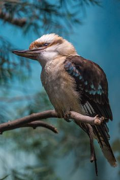 Kookaburras (genus Dacelo) are terrestrial tree kingfishers native to Australia and New Guinea, | Flickr - Photo Sharing!