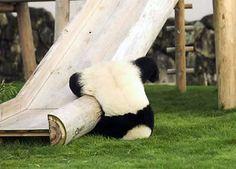 Panda fall-on a slide of course! ;O)