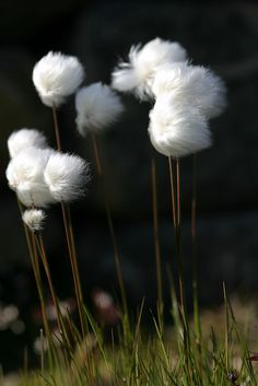 Little plant called Ukaliusaq (Cotton Grass) grows in the arctic tundra. It often forms a soft and furry bouquet for the coffee table.