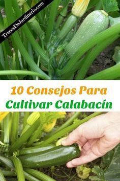 Cultivar Calabacín