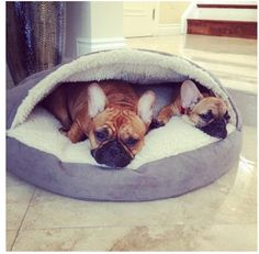 Frenchies in a Snoozer Cozy Cave. We just bought one of these for our Boston.