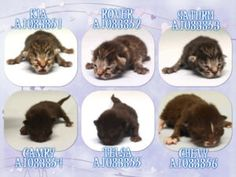 8/10/16 URGENT!!! Save these babies! Help us Save NYC AC&C Shelter Cats ** MANHATTAN CENTER  **MUST BE PULLED BY A NEW HOPE RESCUE**  THE CAR KITTENS – A1083851, A1083852, A1083853, A1083854, A1083855, A1083856    –  Intake Date 08/02/2016, From NY 10458, I came in with Group/Litter #K16-068305. Medical Behavior Evaluation GREEN Medical Summary 6 kittens came together