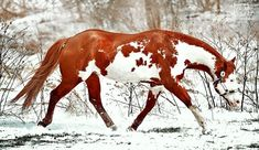 Thinkin Strait  2005 APHA Chestnut Overo Stallion