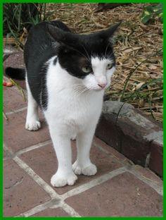 この前テレビで珍しいネコを観ました・・・『動物写真家・岩合光昭の世界のネコ歩き』という再放送の番組です。6本指のネコ!ほらっ!前の手・・・グローブみたいに大きいでしょ!6本も指があるネコは初めて見ました。フロリダの最南端、キーウエストという町には6本指のネコが多いそうです。アメリカの有名な小説家『ヘミングウェイ』が、この6本指ネコの愛好家だったそうです。その昔、船乗りは船内で猫を飼っていて、猫達の近親交%