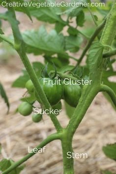 Tomato Parts of Plant