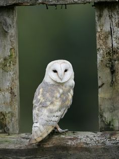 Barn Owl, in Old Farm Building Window, Scotland, UK Cairngorms National Park