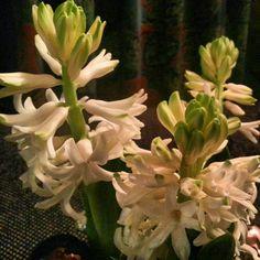 Hiacinten in bloei