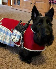 Scottish terrier dog wearing a kilt & bagpipes