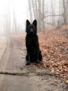 Black German Shepherd. That isn't at all intimidating...Beautiful dog though. Wouldn't mind having one like that.