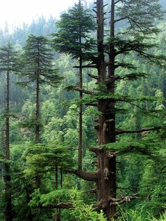 Cedrus deodara Darukavana (Sacred forests of Daru trees)-were places where holy men who served Shiva would live(with their families).This beautiful tree is sacred in Indian lore. Beautiful World, Beautiful Places, Beautiful Forest, Cedrus Deodara, Nature Tree, Tree Forest, Conifer Forest, Redwood Forest, Belle Photo