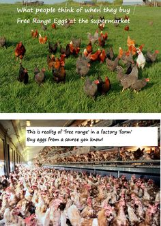 The reality of Free Range in a factory farm