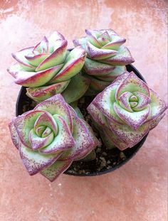 Qué increíble es el efecto 3D de estas flor-como las suculentas (7 dólares)?