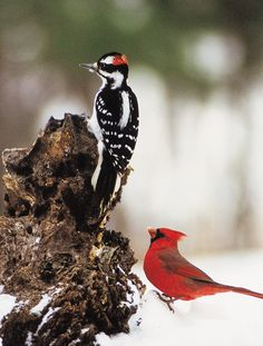 hairy woodpecker and northern cardinal |Pinned from PinTo for iPad|