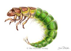 Caddisfly: Little Sister Sedge (Larva)