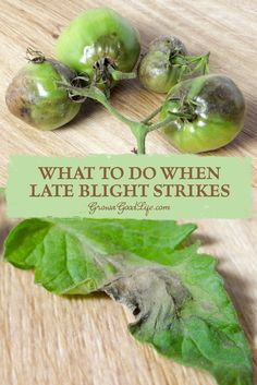 What to Do When Late Blight Strikes | Grow a Good Life