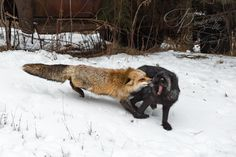 Silver Fox (Vulpes vulpes) gets bit on ruff by Red Fox - captive animals Holly Kuchera photo taken: Red Fox, Big Dogs, Artwork, Animals, Silver, Photos, Animales, Work Of Art, Pictures