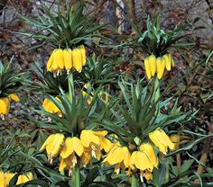 Fritillaria imperialis 'Lutea' | From White Flower Farm