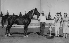 Polish-bred, Arabian stallion, *Witez II was bred and foaled at Poland's Janow Podlawki Stud in 1938 #ArabianHorses #History #ArabianHorseAssociation