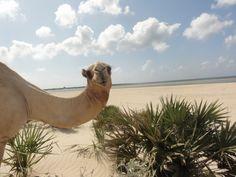 Camel on the beach!  #wildlife #animals #africa #travel #tourism #wanderlust #nature #vacation #summer #holiday #trip #cruise #sailing #sail #sailboat #yacht #luxury #fun #sea #ocean #love #food #relax #cuisine #culture #people #world #wine #italy #italia #sicily #sicilia #sardenga #ibiza #mallorca #menora #spain #beach #sky #sun #hot #getaway #paradise #mediterranean #belize #grenadines #cuba #panama #brasil #brazil #caribbean #rio #kenya #europe