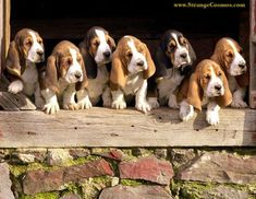 I have ALWAYS wanted a bassett hound maybe one day soon I will get one : )