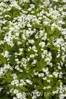 Sweet Woodruff  Galium odoratum  Attractive low spreading groundcover or pathway edging for shady gardens and woodland settings that spreads quickly with rich soil and ample moisture. Leaves and stems have a vanilla-like odor when dried. Full to partial shade.
