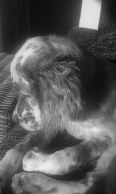 Charley ~ English Setter Pup ~ Classic Look