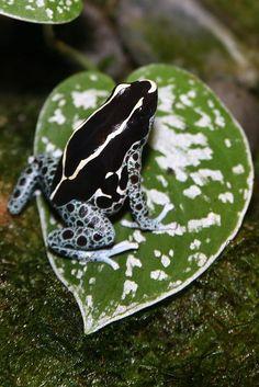 "amphibian-time: "" Poison Dart Frog (Dendrobates tinctorius) by cliff1066™ on Flickr. """