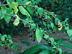Deadly Nightshade - Not to be confused with the non-deadly variety, this one(Atropa belladonna) is related to the potato, the tomato, and many other poisonous plants, and is also known as Belladonna. It's the source of the drug atropine, which has wide ranging nervous effects. It has purplish-red flowers and poisonous berries. Once ladies would use belladonna extract too dilate their pupils.