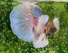 EH90 Thai Import Yellow White Blue Dumbo Big Ear Halfmoon HM Male Betta Liv Fish