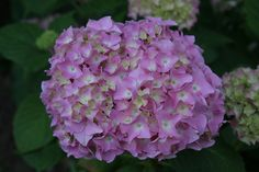 12 Seasonal Summer Wedding Flowers: Hydrangea
