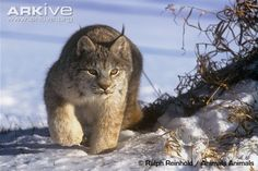 Immature male Canada lynx in stalking stance