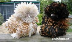Frizzle Chickens For Sale | chamois polish frizzle in Wales | Bird Trader