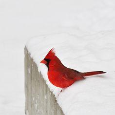 https://flic.kr/p/bc3kvk | Rouge et blanc | Cardinal rouge / Northern Cardinal ♂