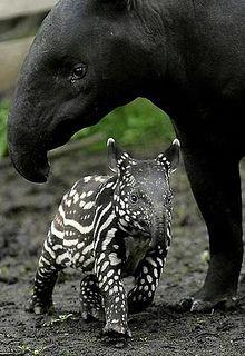 Malaysian Tapir -- adorable!