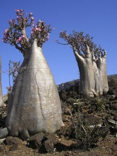 "Socotran Adenium obesum or ""desert roses"" or bottle trees, whose obese trunks are adapted to store water, stand on a hillside in Wadi Diksam on Socotra island Socotra, Unique Trees, Unique Plants, Exotic Plants, Weird Trees, Bottle Trees, Giant Tree, Old Trees, Nature Tree"