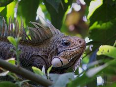 fauna del amazonas - Iguana